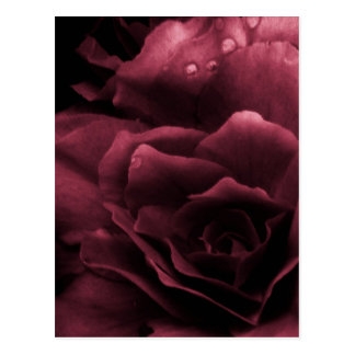 Plum Red Close Up of a Double Begonia Postcard