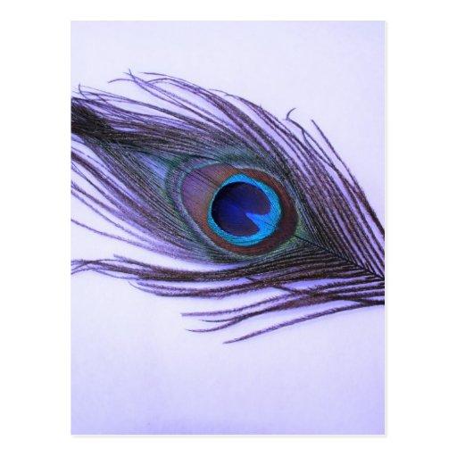 Pluma púrpura del pavo real tarjetas postales
