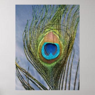 Pluma soleada del pavo real impresiones