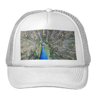 Plumaje lleno del pavo real azul gorro de camionero