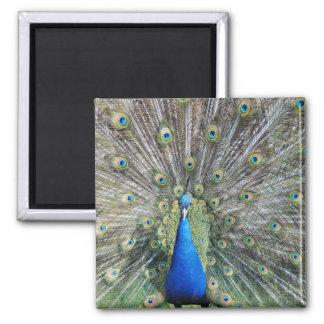 Plumaje lleno del pavo real azul imán de frigorífico