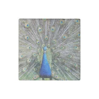 Plumaje lleno del pavo real azul imán de piedra