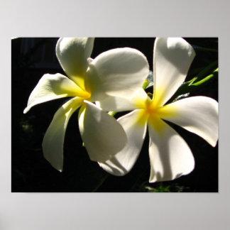 Plumaria Hawaiian Tropical Flowers Poster Print