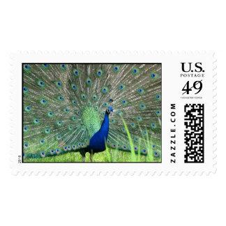 Plumas asombrosas del pavo real sello