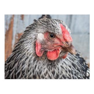 Plumas blancos y negros de la foto linda del pollo tarjetas postales
