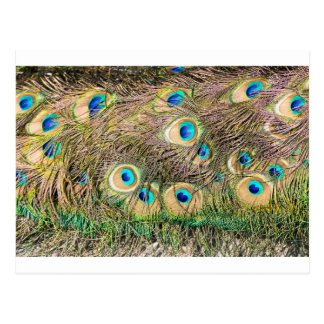 Plumas de cola del pavo real masculino tarjetas postales