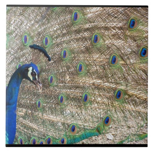 Plumas del animal de la fauna del pájaro del pavo azulejo cuadrado grande