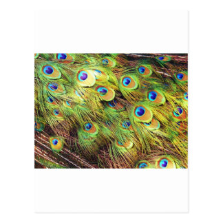 Plumas del pavo real tarjeta postal