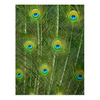 Plumas del pavo real postales