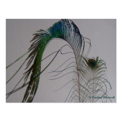 Plumas elegantes del pavo real de la bella arte tarjeta postal
