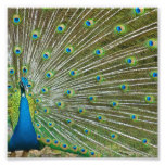 Plumas orgullosas del pavo real impresión fotográfica