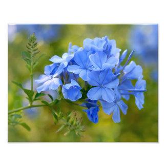 Plumbago - Blue Summer Flowers Photograph