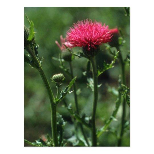 Plumed Thistle (Cirsium Japonicom) flowers Postcard