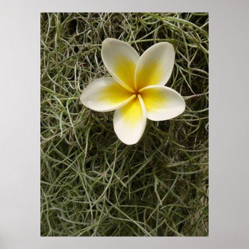 Plumeria and Spanish moss Poster