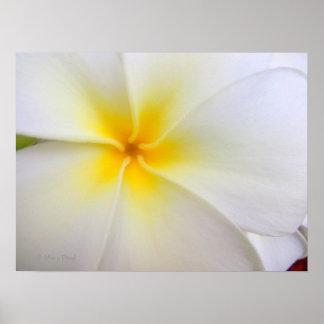 Plumeria blanco posters