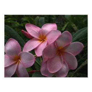 Plumeria blossoms photographic print