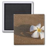 Plumeria en la playa arenosa, Maui, Hawaii, los E. Imán Cuadrado