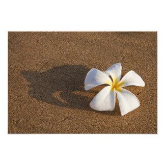 Plumeria en la playa arenosa, Maui, Hawaii, los E. Arte Con Fotos