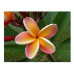 Plumeria flower - Oahu, Hawaii Postcard
