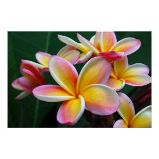 Plumeria Flower on Canvas! Posters