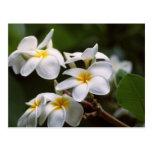 Plumeria Flower Postcard