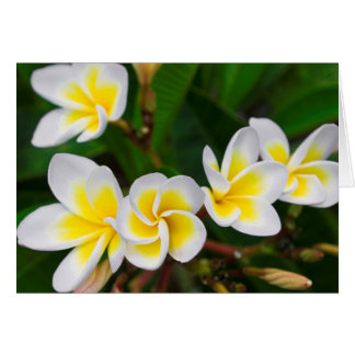Plumeria flowers close-up, Hawaii Card