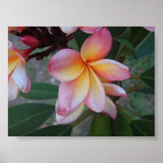 Plumeria (Frangipani)  Poster
