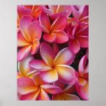 Plumeria hawaiano