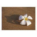 Plumeria on sandy beach, Maui, Hawaii, USA Photo Print