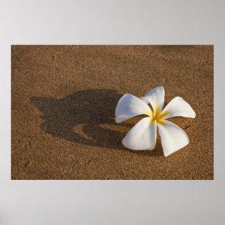 Plumeria on sandy beach, Maui, Hawaii, USA Poster