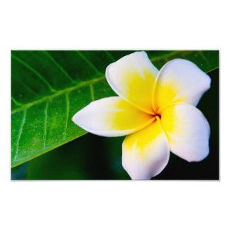 Plumeria Photo Print