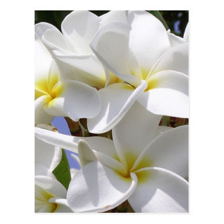 Plumeria Tropical Flowers Postcard