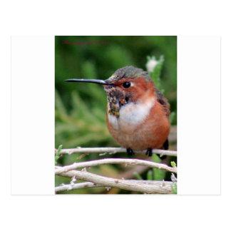Plump Hummingbird Postcard