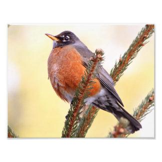 Plump Robin Photo Print
