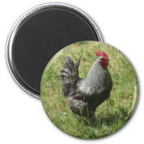 Plymouth Rock Chicken Magnet