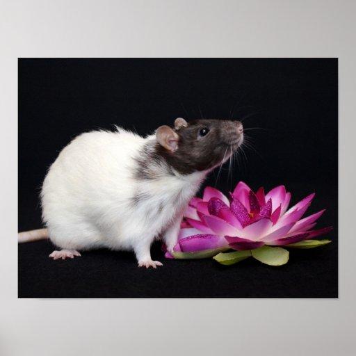 Poca flor - poster de la rata póster