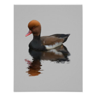 Pochard Duck Posters
