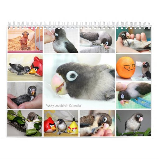Pocky the cutest lovebird wall calendars