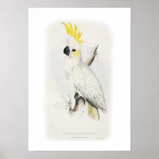 Poco cockatoo azufre-con cresta póster