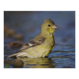 Poco Goldfinch, psaltria del Carduelis, femenino Impresiones