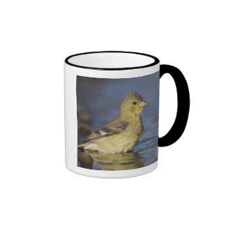 Poco Goldfinch, psaltria del Carduelis, femenino Tazas De Café
