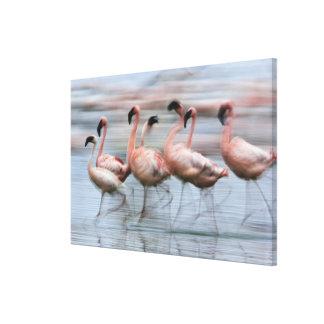 Pocos flamencos en el movimiento, Phoenicopterus Lona Estirada Galerias