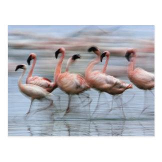 Pocos flamencos en el movimiento, Phoenicopterus Postal