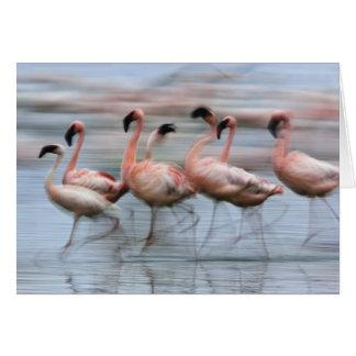 Pocos flamencos en el movimiento, Phoenicopterus Tarjeta De Felicitación