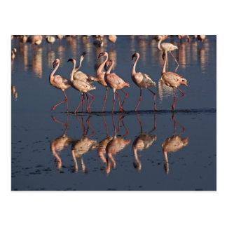 Pocos flamencos que exhiben, lago Nakuru Postales