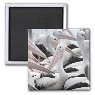 Pod of Pelicans Magnet