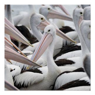 Pod of Pelicans Poster