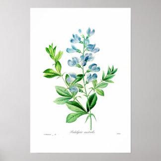 Podalyria australis póster