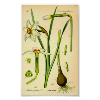 Poet's Daffodil (Narcissus poeticus) Poster