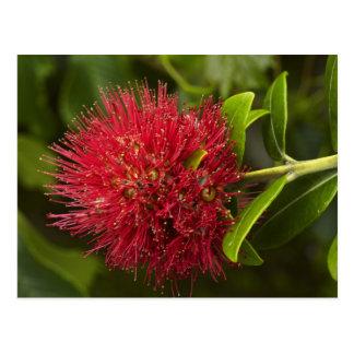 Pohutukawa Flower, Dunedin Postcard